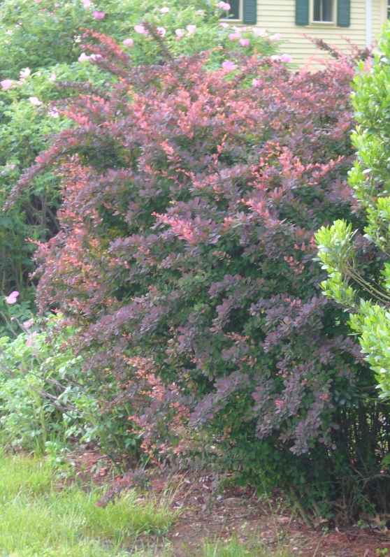 R5 dark bush early june.jpg