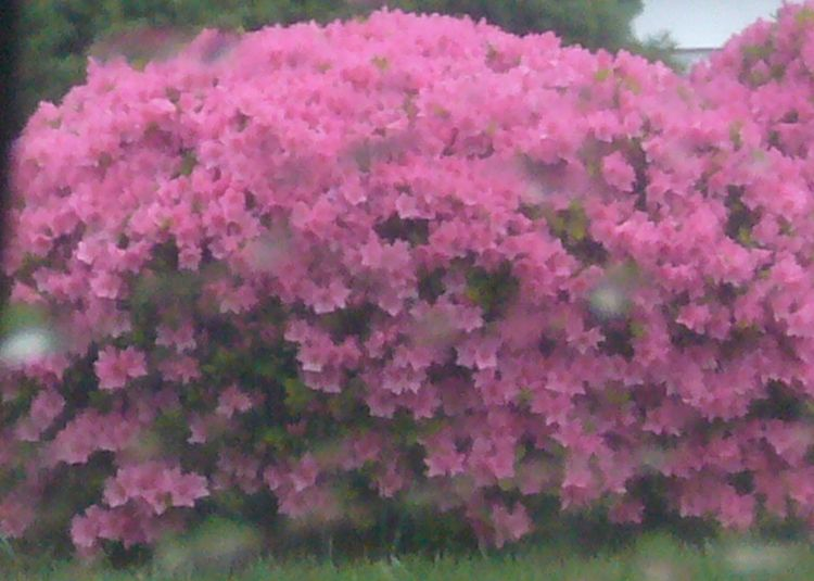 R3 pink bush mid may.jpg