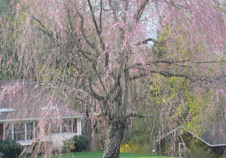 R2 weeping cherry early spring blooms.jpg