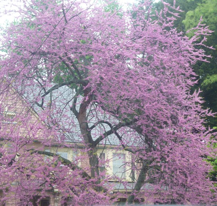 R3 purple tree mid may.jpg