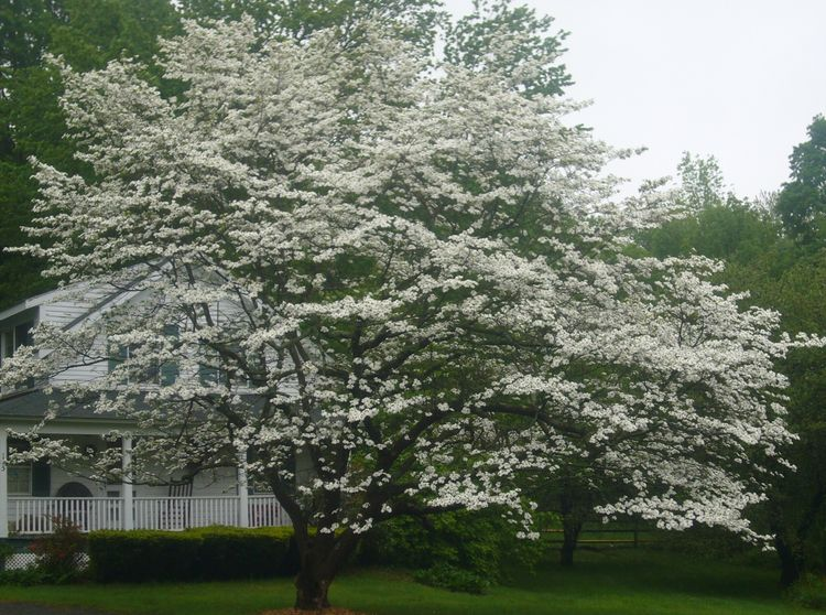 R3 white tree mid may.jpg
