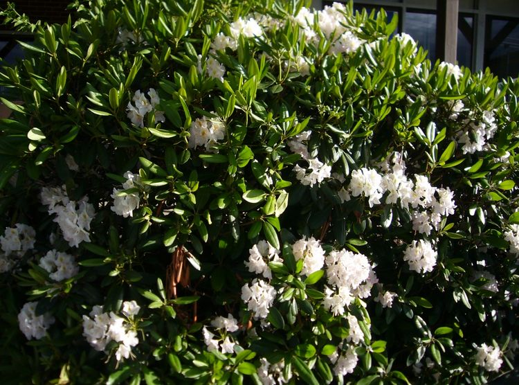 R5 white bush early june.jpg