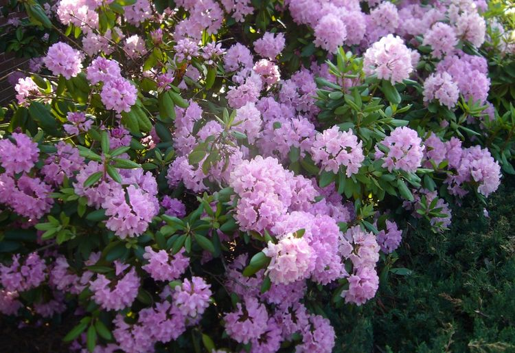 R5 multicolor bush early june.jpg