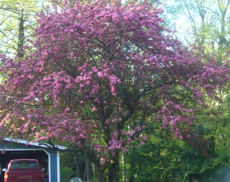 R3 purple tree 2 mid may.jpg