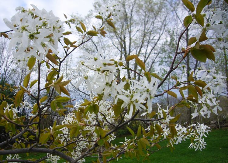 R2 white flower tree early spring blooms.jpg