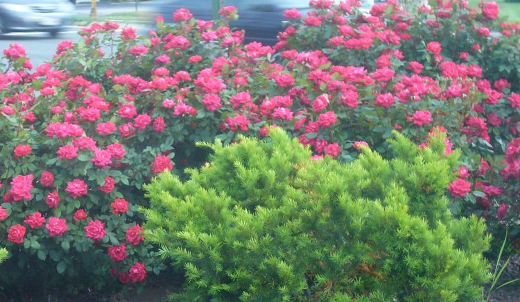 R5 rose bush early june.jpg