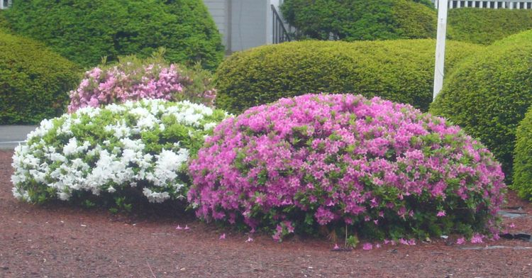 R4 pretty multicolor bushes early june.jpg