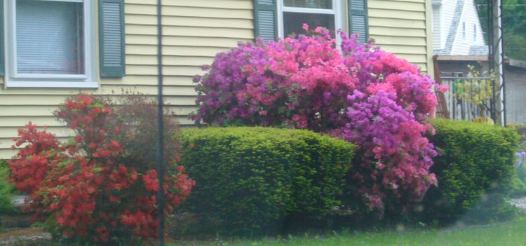 R4 pretty multicolor bushes 2 early june.jpg