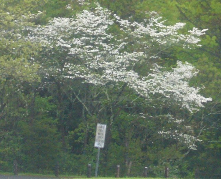 R4 white tree early june.jpg